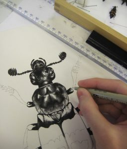 Nicrophorus sketch