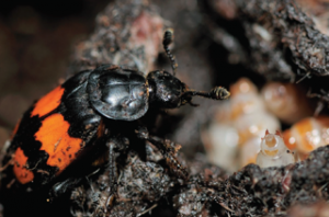 Nicrophorus vespilloides female