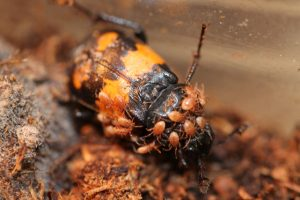 Mites on nicrophorus beetle