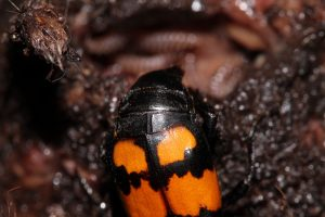Nicrophorus vespilloides close up